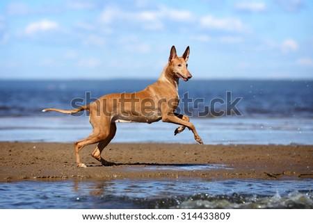 Active beautiful dog running on the beach