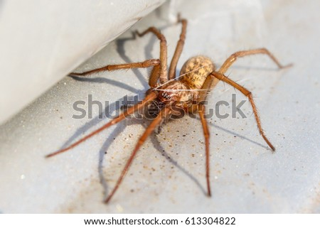 active common house spider
