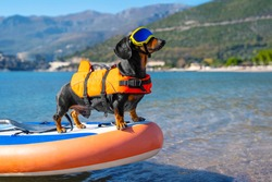 Active dachshund dog in specialized sunglasses for pets with polarizing lenses and life jacket is on stiffest durable inflatable stand up paddle board in sea or ocean.