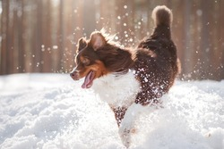 active dog Australian Shepherd running and playing in the snow on the nature