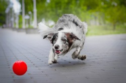 active dog border collie running after the ball active pet playing on the street funny pet