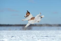 Active dog jack russell terrier in flight