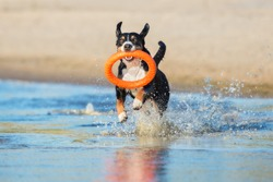 active dog playing with a toy on the beach