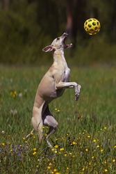 Active fawn and white Whippet dog jumping up catching a ball toy in a meadow with a green grass and flowers in summer