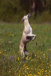 Active fawn and white Whippet dog jumping up in a meadow with a green grass and flowers in summer