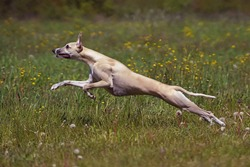 Active fawn and white Whippet dog running fast in a meadow with green grass and flowers in summer
