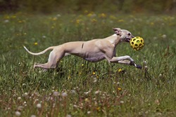 Active fawn and white Whippet dog running with a ball toy in a meadow with a green grass and flowers in summer