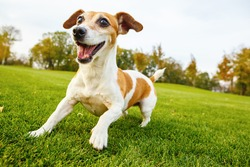 Active frisky small pet playing dancing on the grass. Smiling cute Jack russell terrier in the dynamic pose in the movement.   series of photos