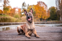 Active healthy happy dog of belgian shepherd malinois dog breed in autumn fall park full of leaves. Colorful autumn season.