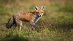 Active red fox, vulpes vulpes, hunting on green meadow in autumn nature with copy space. Energetic mammal walking on a sunny day from side view. Animal predator in wilderness.
