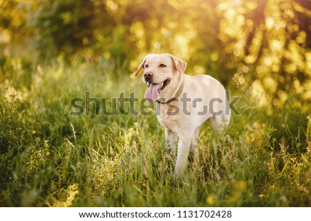 Active, smile and happy purebred labrador retriever dog outdoors in grass park on sunny summer day. #1131702428