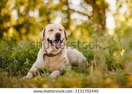 Active, smile and happy purebred labrador retriever dog outdoors in grass park on sunny summer day. #1131702440