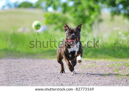 Active staffordshire bull terrier playing with the tennis ball