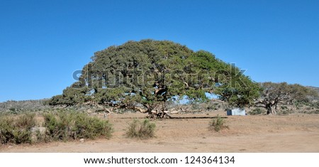 Actual tree of the five Nakfa bank note of Eritrea (Giant Sycamore tree near Segeneyti).