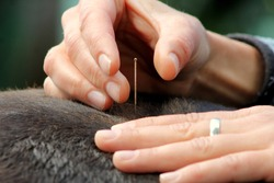 Acupuncture in an animal, horse