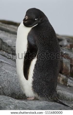 Ad�©lie penguin, Antarctica - stock photo
