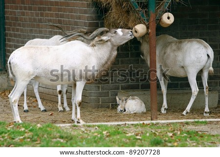 Adaks Antelope: This is a very rare antelope Typically characteristic for this antelope is white sign in the shape X on face. - stock photo