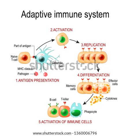 Adaptive immune system from Antigen presentation to activation of other immune cells. specific immune. T-helper and T-killer cells. Memory and Effector cells. Viruse, Lymphocyte, antibody and antigen