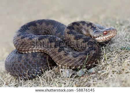 Adder / Common Viper