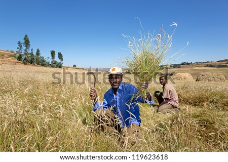 ADDIS ABABA, ETHIOPIA   NOV 10: Unidentified farm laborers cut grass with sickles November 10, 2012 near Addis Ababa, Ethiopia.  Over 80% of the population live and work in rural Ethiopia.