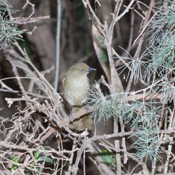 Addo Elephant National Park: Sombre greenbul in thicket