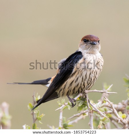 Addo Elephant National Park South Africa: Greater Striped Swallow Stock photo ©
