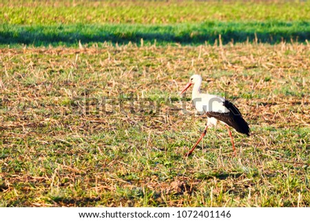 Adebar white stork (Ciconia ciconia) or stork in a field