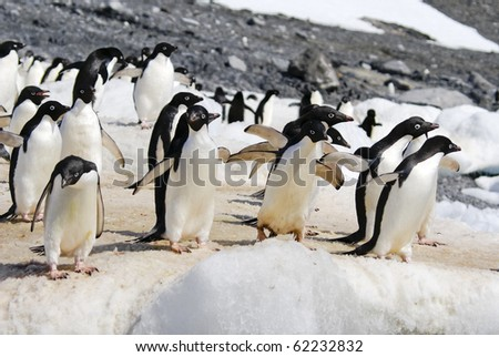 Adelie Penguin Colony taken at Antarctica. Taken at Hope Bay on a sunny day with snow and ice in background.