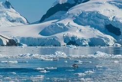 Adelie penguin porpoising, Paradise bay , Antarctic peninsula, Antartica.