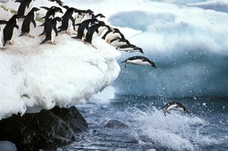 ADELIE PENGUIN pygoscelis adeliae, GROUP LEAPING INTO WATER, PAULET ISLAND IN ANTARCTICA