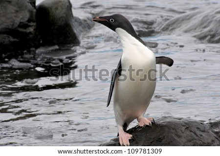 Adelie Penguin (Pygoscelis adeliae) has just emerged from the icy water at Hope Bay in the Northern Tip of the Antarctic Peninsular