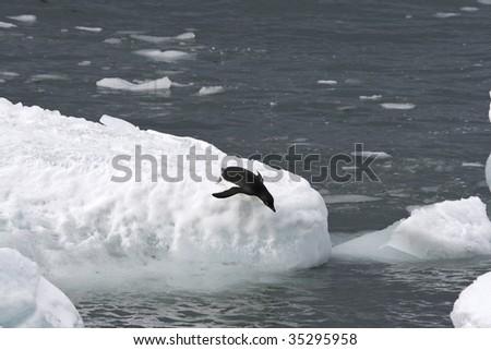 Adelie penguin (Pygoscelis adeliae) jumping off an iceberg