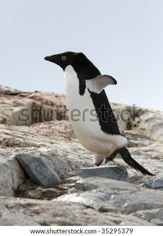 Adelie penguin (pygoscelis adeliae) on Petermann Island, Antarctica