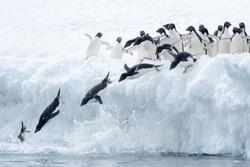 Adelie Penguin (Pygoscelis adeliae) - Syncronised Diving