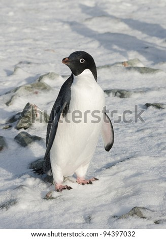 Adelie penguin standing in the snow among the rocks.