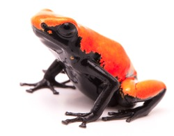 Adelphobates galactonotus,  orange red splash backed or splashback poison dart frog. A poisonous rain forest animal from the Amazon rainforest in Brazil. Isolated on a white background.