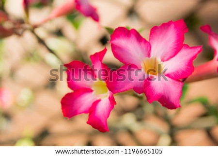 Adenium obesum Desert General characteristics. Small plum. The leaf surface is smooth green. Flowers at the end of the flower trumpet flower petals with 5 petals pink petals base with petals. #1196665105