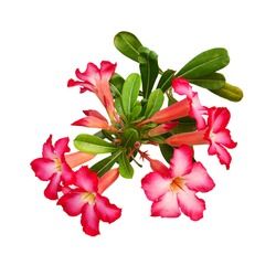 Adenium obesum is a species of flowering plant in the dogbane family, Apocynaceae.
