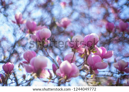Admired icons of spring. Purple magnolia flowers in full bloom. Flowering magnolia tree. Magnolia flowers in blossom. Blossoming tree in spring park. Spring garden.
