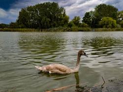 Adolescent swan swimming in a small river