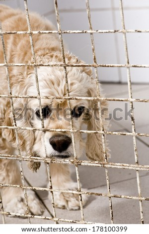 Adopt me! Senior  cocker spaniel in in animal shelter