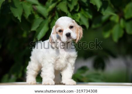 adorable american cocker spaniel puppy #319734308