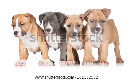 adorable american staffordshire terrier puppies