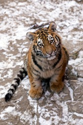 Adorable amur tiger cub looking eye to eye with snowy face. Cuties siberian tiger baby sitting on a snowy earth and looking around against the backdrop frozen ground and born in cold winter.
