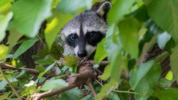 Adorable and curious raccoon on tree branch surrounded by green leaves. Cute small gray mammal calmly resting in trunk. Animals and wildlife