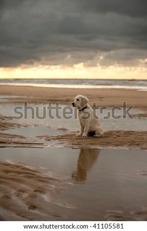 golden retriever puppies for sale in trinidad. 2011 Golden Retriever puppies