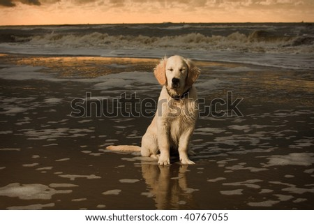 cute golden retriever puppy pics. and cute Golden Retriever