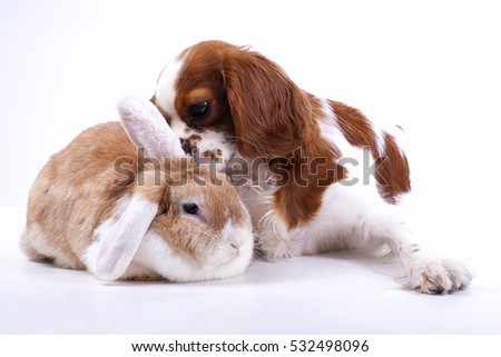 Adorable animals love each other. Dog with lop rabbit posing together in studio. Real animal friends. Real friends.  #532498096