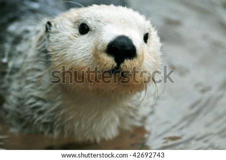Adorable arctic white sea otter closeup portrait - stock photo