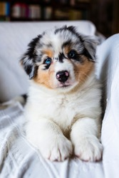 Adorable Australian Shepherd cute blue eyes puppy.